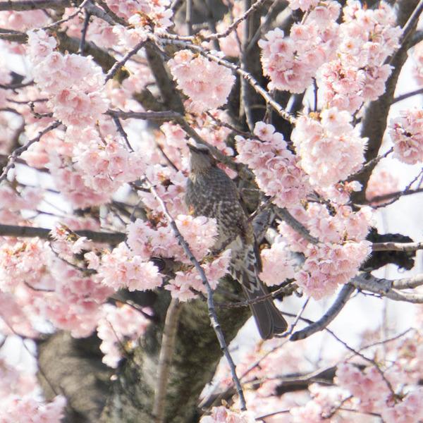 椿寒桜-1803154
