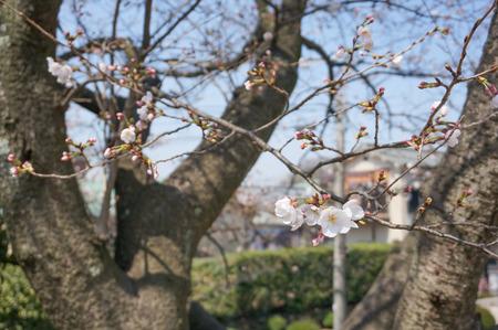 村野公園の桜-4