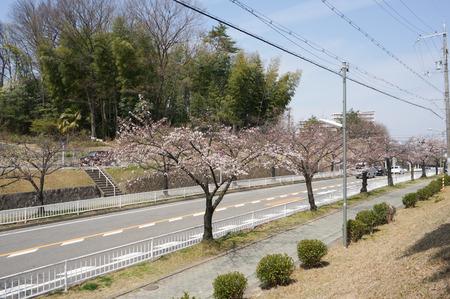 香里ヶ丘の桜-12