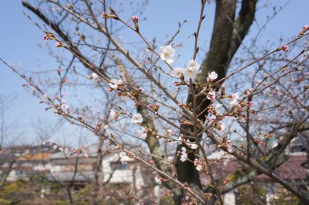 村野公園の桜-5
