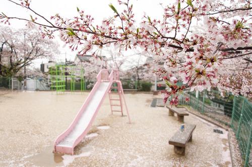 20150405桜丘村野桜-56