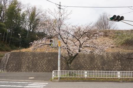 香里ヶ丘の桜-2