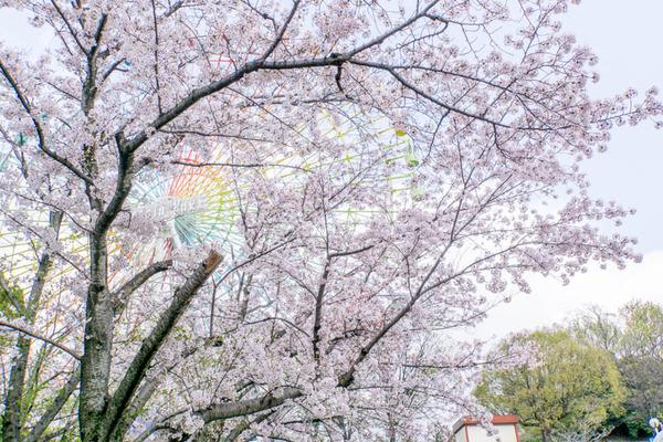 桜2-1704127