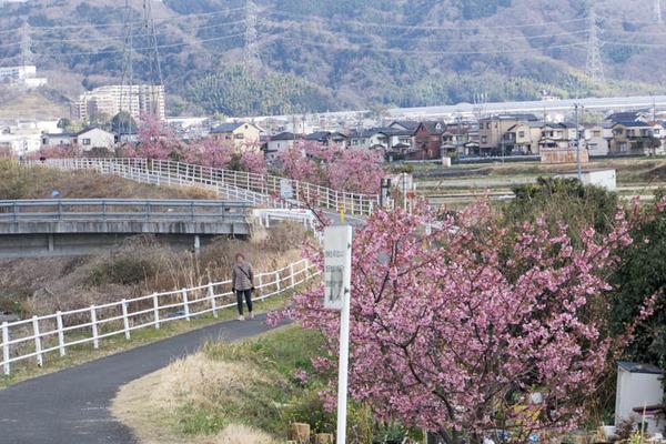 桜並木-1703164