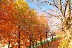 天野川と枚方高校の間の小道の紅葉 by GOやん