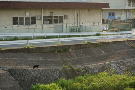 船橋川の猫130506165541