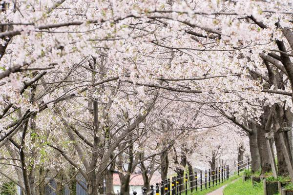 桜-1704101