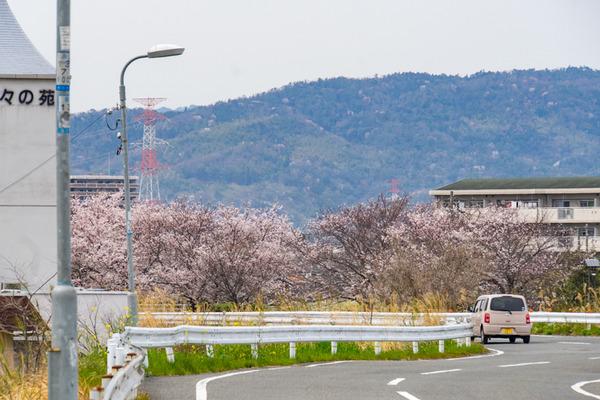 桜-2003301