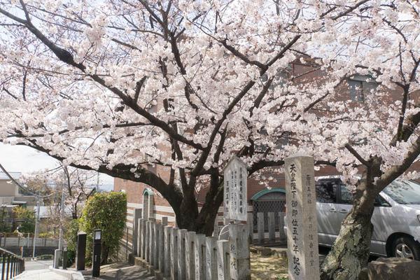桜-1904028