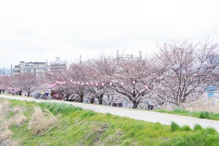天の川の桜