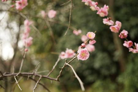 意賀美神社の梅-5