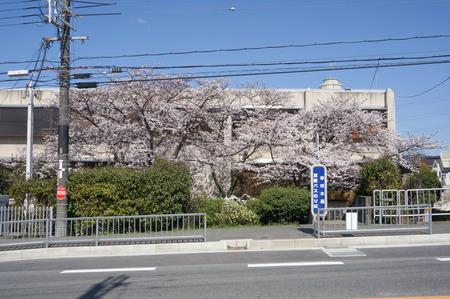 津田の桜-2