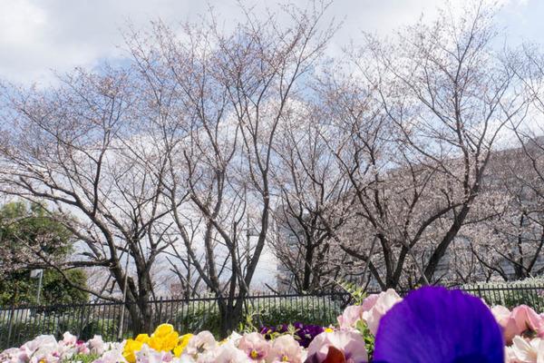 桜-1904022