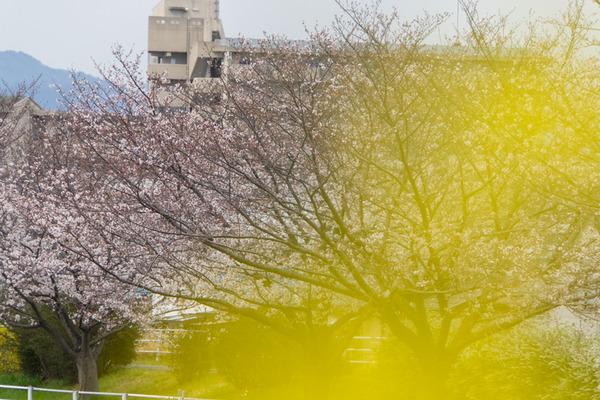 桜-2003303