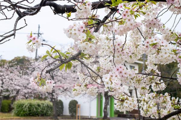 桜329-2103288