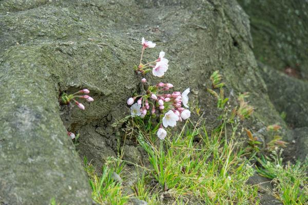 背桜-19033026