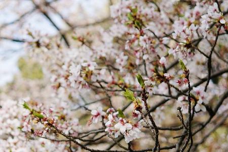 御殿山公園の桜130405-02a