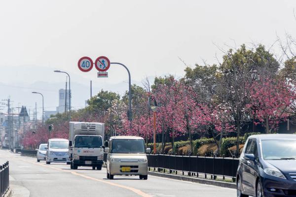 椿寒桜-1803151