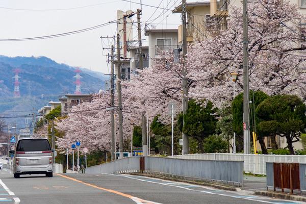 桜-2003306