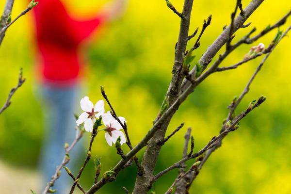 桜-1704093