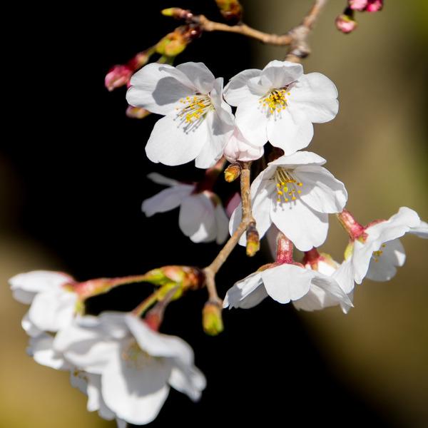 桜-2003261