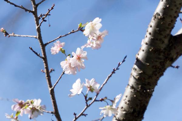 桜-1610244
