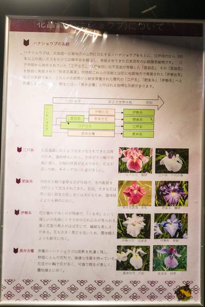 花しょうぶ-1906034