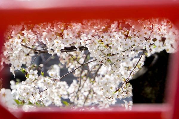 桜2-1803272
