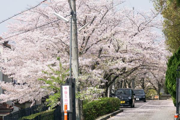 桜-1704144