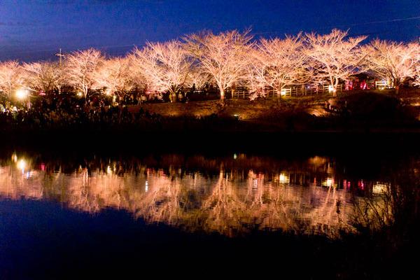 寝屋川桜-17032533