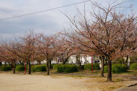 牧野公園の桜130410-01