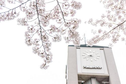 20150403歯科大桜-1