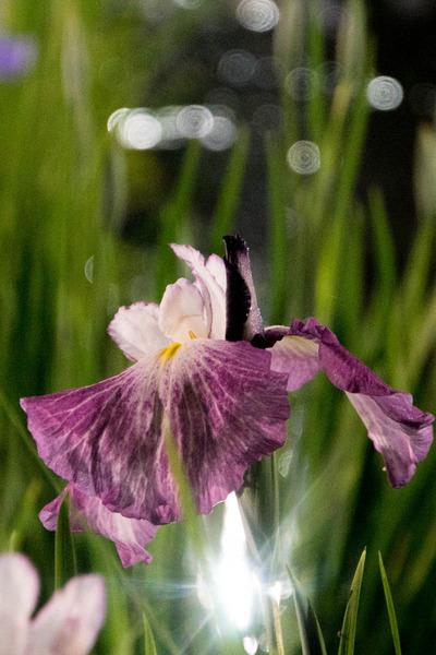 花しょうぶ-1906037