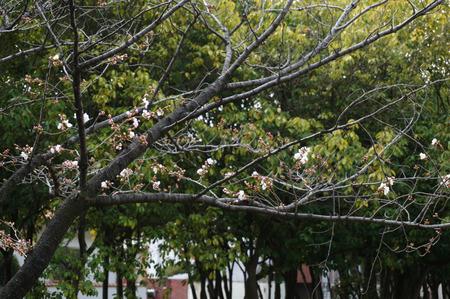 楠葉中央公園の桜130325-06