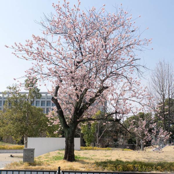 椿寒桜-1803152