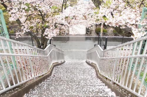 20150405桜丘村野桜-80