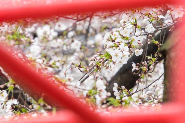 桜-2003275