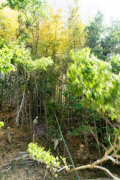 枚方の竹-1905153