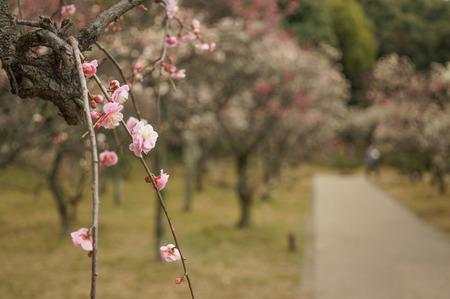 意賀美神社の梅-8