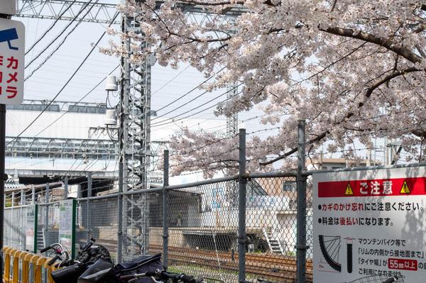 交野 桜-2103291-7