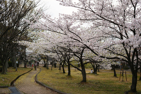 王仁公園の桜130404-03