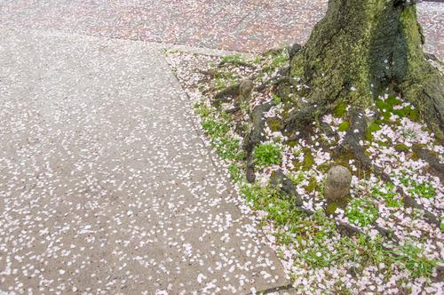 20150405桜丘村野桜-3