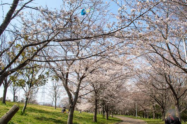 山田池桜の道-2103232
