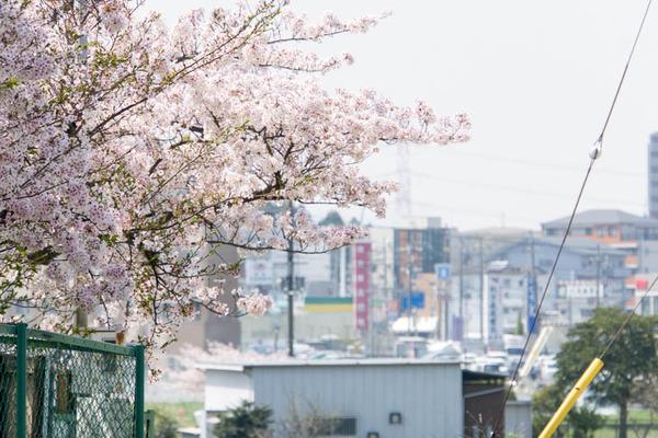 桜-1704143