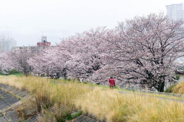 桜-1704076