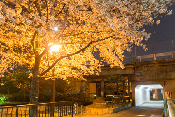 桜2-1704093