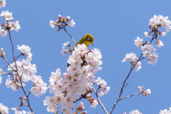 山田池桜の道-2103232-2