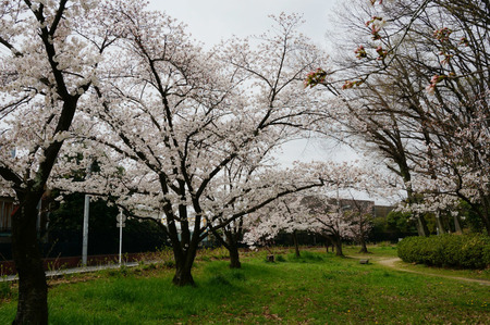 車塚公園の桜130329-02