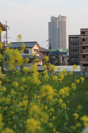 菜の花とタワーシティ-B