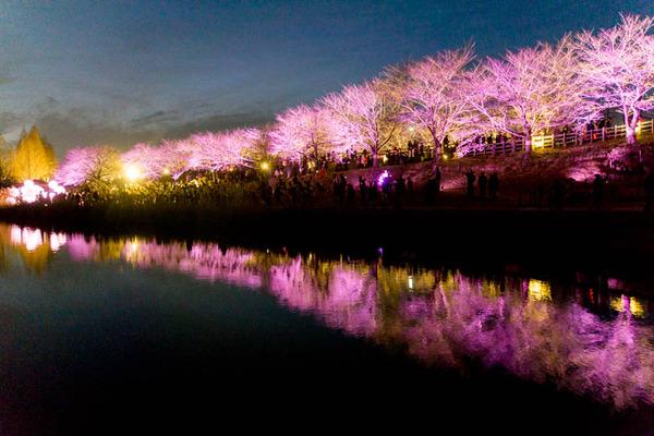 寝屋川桜-17032534
